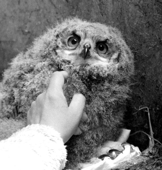 owlblack